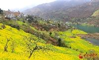 陇南文县:4万亩油菜花竞相开放